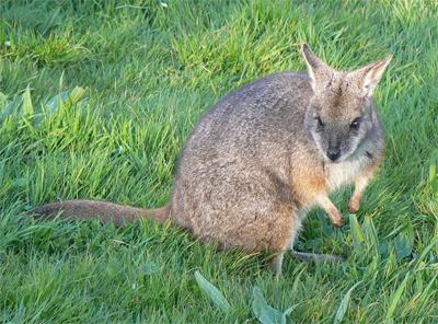 canguro parma