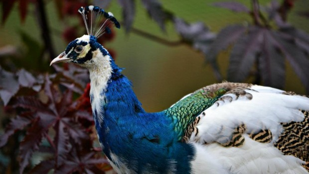 Pavo Real Arlequin Pavo Cristatus on oscar and asia