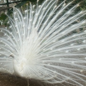 pav blanco