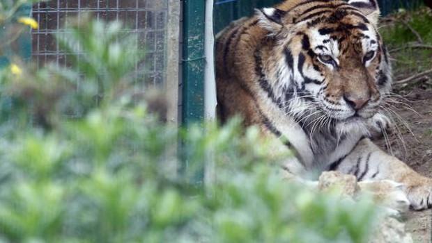 tigresas-zoo-bosque-oviedo-U4023545410FE-U60708121110jME-624x385@El Comercio-ElComercio