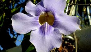 Fuente: http://www.consultaplantas.com/images/phocagallery/thunbergia_grandiflora/thumbs/phoca_thumb_l_thunbergia_grandiflora_1.jpg