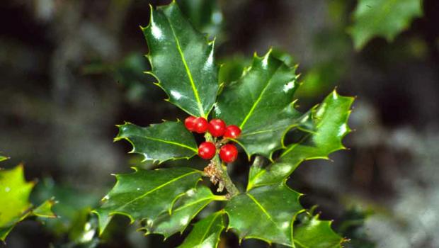 Fuente: http://www.arbolapp.es/imagenes/especies/especie_033_01.jpg